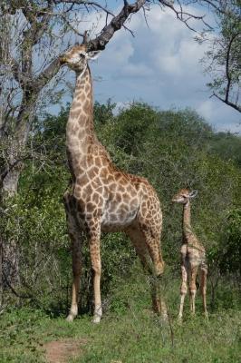 Giraffenmutter mit Kind