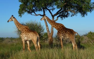 Giraffen in der Abendsonne