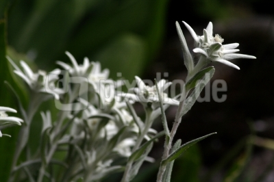Familie Edelweiss