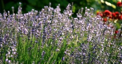 Lavendelblüten 2