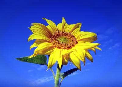 Eine einsame Sonnenblume