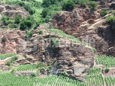 Weinanbau an der Mosel unter mit schwierigsten Bedingungen
