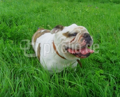 Englische Bulldogge Betty Boo - eine Seele von einem Hund...