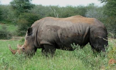 Breitmaul-Nashorn