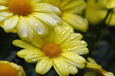 Gartenblumen im Regen