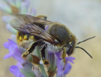 Große Wollbiene - Anthidium manicatum (Männchen)
