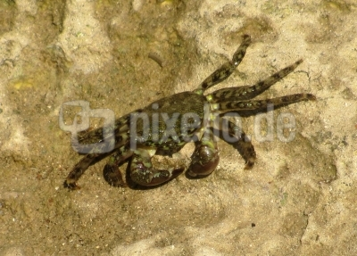 Krabbe bei Nahrungssuche