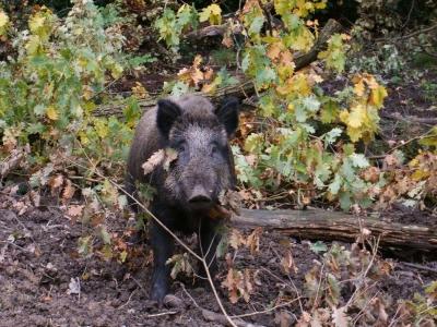 Wildschweineber
