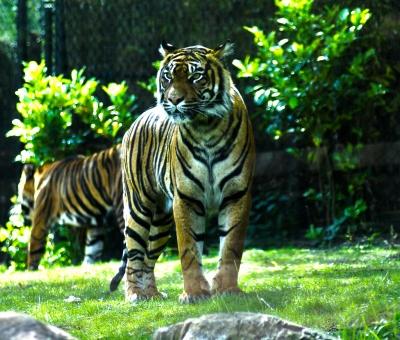 Sumatratiger in HDR Tonung