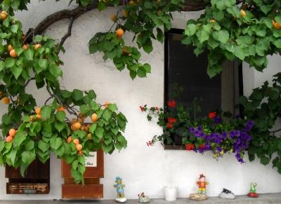 Mirabellen-Baum vor Tiroler Bauernhaus