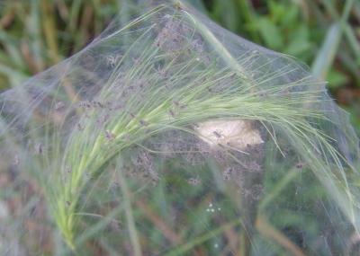 Gerandete Jagdspinne [Dolomedes fimbriatus] - Nest
