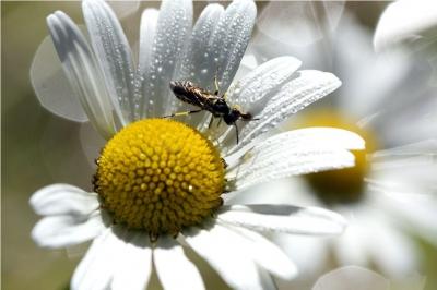 Magerwiesen-Margeriten mit Insekt