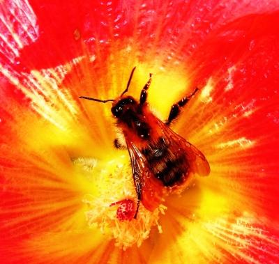 Biene im Blütenherz