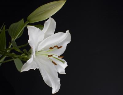 Weiße Lilie vor schwarz