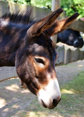 Portrait eines Esels