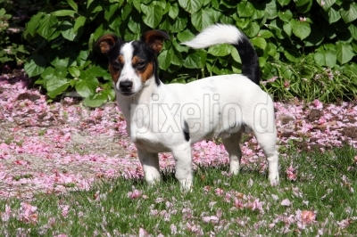 Unser Jack Russell
