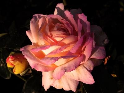 angestrahlte rose