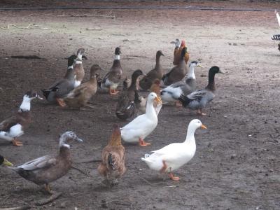 Entenparade mit Hühneranteil