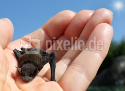 Kleine Fledermaus
