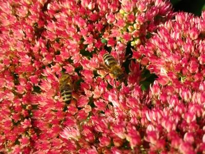 im roten Blütenmeer
