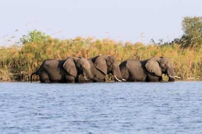 Elefanten im Okawango