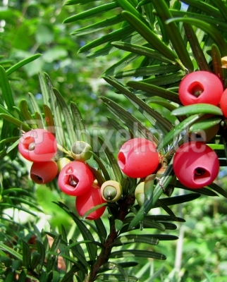"""Rote """"Früchte"""" der Eibe"""