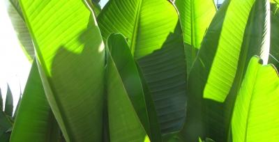 Bananenstaudenblätter im Gegenlicht