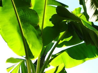 Bananenstaudenblätter im Gegenlicht 2