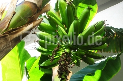 Grüne Bananenstaude