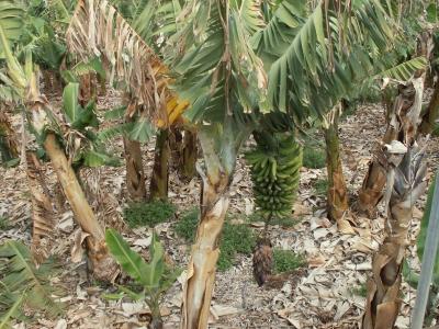 Bananenstaude mit Blüte