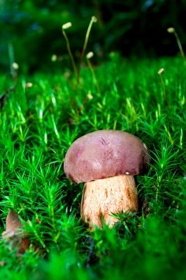 Maronenröhrling (Boletus badius, syn. Xerocomus badius)
