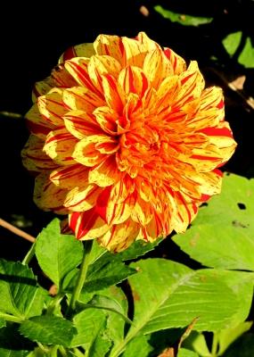 Chrysanthemenblüte (Makro)