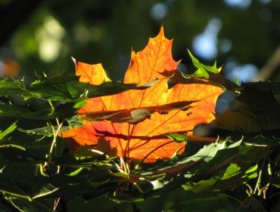 Herbstliches Leuchten (Makro)