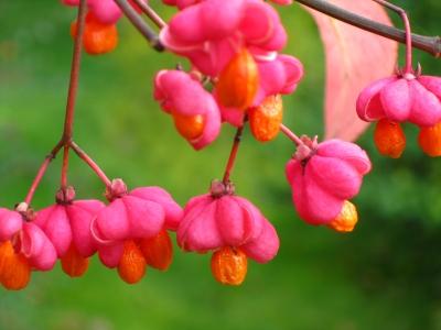 rosa-orange früchtchen