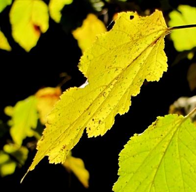 Herbstlaub (Makro)