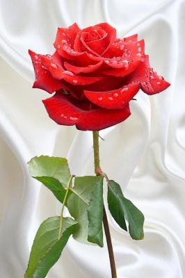 Rose und Seide