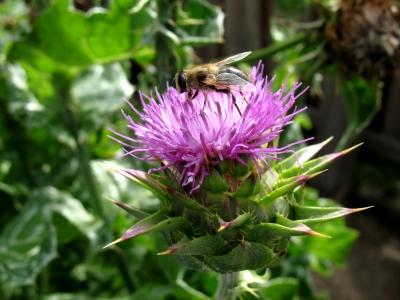 Museum Lensahn Biene auf einer Blüte