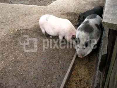 Museum Lensahn Göttinger Minischweine