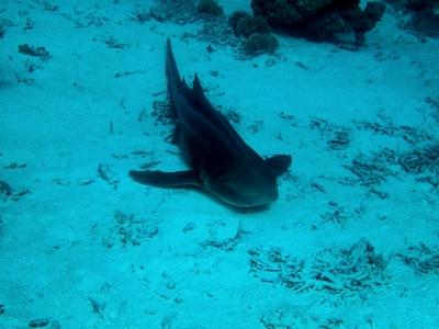 Gewöhnlicher Ammenhai
