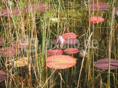 Seerosen im Herbst (3)