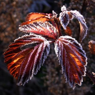 der erste frost.....brombeerblätter....