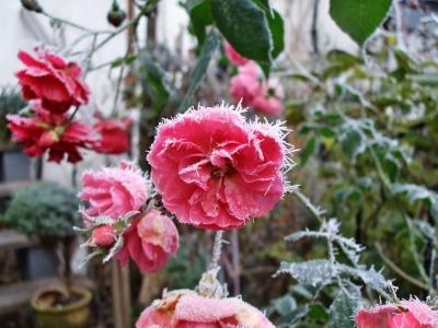 Rosenblüte im Winter