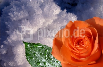 Rose im Winter...