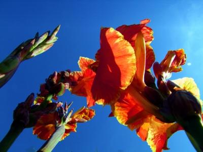 memoriam of the summer - Sommererinnerungen - Indisches Blumenrohr (Canna indica)