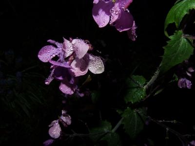 Einjähriges Silberblatt (Lunaria annua)