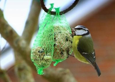 Blaumeise    Cyanistes caeruleus