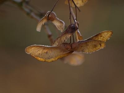 geflügelte ahornfrucht