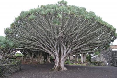 Mein Freund der Baum (auf der Azoreninsel Pico)