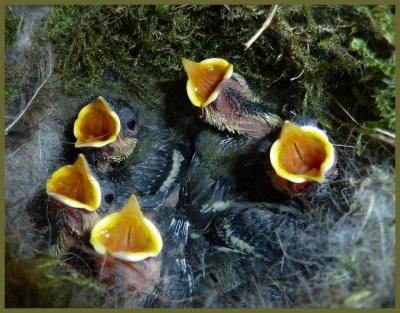 Meisenjunge im Nest