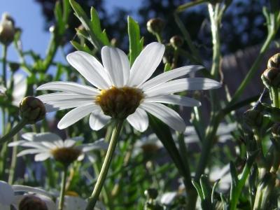 Margeriten - Leucanthemum